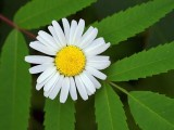 Daisy Over Leaves 16170