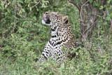 leopard_7958.jpg