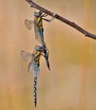 Damsel- and dragonflies 2009