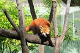 Cairns Tropical Zoo - 20 Red Panda 2.JPG