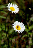 Oxeye Daisies and Friend