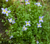 Thyme-Leaved Bluets