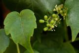 Flowering Ivy