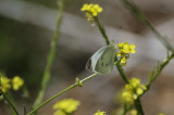 A Cabbage White Butterfly