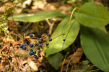 Berries of the Blue Bead Lily