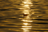 Coot Sunset