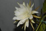 The White Epi blossoms.