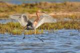 Reddish Egret - Soft Landing