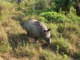 Rino - Chitwan