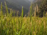 Green Valley- Annapurna