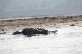 Crocodile - Chitwan