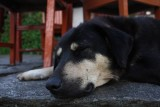 Sleeping Dog - Annapurna