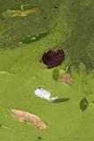Gallery: Pond scum