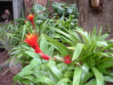 Guzmania Fire dragon