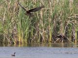 Swamp Harrier and Pacific Black Duck _9151996.jpg