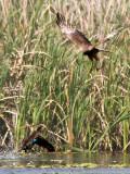 Swamp Harrier and Pacific Black Duck _9151991.jpg