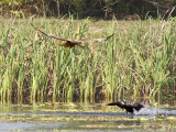 Swamp Harrier and Pacific Black Duck _9152026.jpg