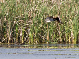 Swamp Harrier and Pacific Black Duck chicks _9151979.jpg