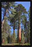 Giant Redwood Grove