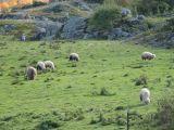Sheep Meadow 1