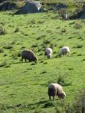 Sheep Meadow 3