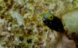 Spinyhead Blenny