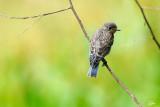 Junvenile Western Bluebird