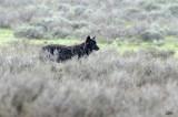 Black Wolf (snowing)