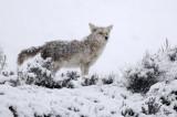 Coyote (snowing)