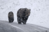 Grizzly (snowing)