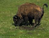 bison preparing his dirt bath