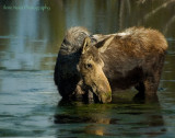 moose eating pond scum