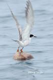 (Sterna hirundo) Common Tern