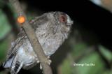 (Otus bakkamoena lemurum)  Collared Scops Owl