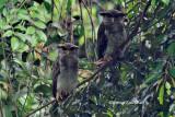 (Bubo sumatranus) Barred Eagle-owl