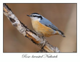 Rose-breasted Nuthatch