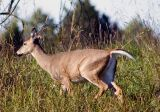 Virginia Long Tail Deer Running