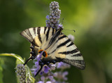 Fjäril  (Kreta) (IMG_1707)