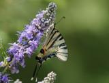 Fjäril i Kournal Lake (Kreta)