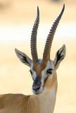 Thomson's Gazelle.