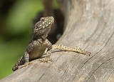 Starred Agama Lizard.