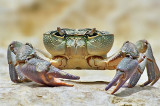 Fresh Water Crab.