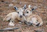 Nubian Ibex. (young)