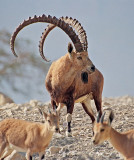 Nubian Ibex.