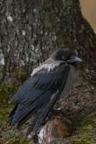 Kråka/Hooded Crow