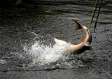 Traditional Spear Fishing