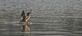 Female Common Merganser Landing