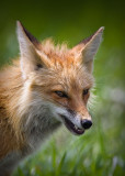 0042-Fox-Mom.jpg