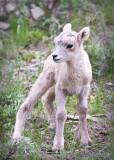 0033-Sheep.jpg