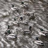 duckdance :: seatown